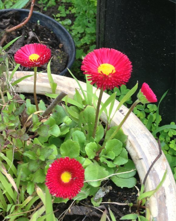 Little red daisies